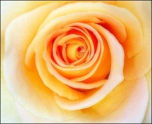 Rose Photosы