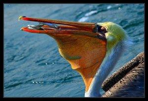 Pelican Photos