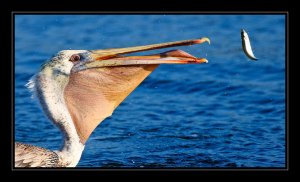 Pelican Photos
